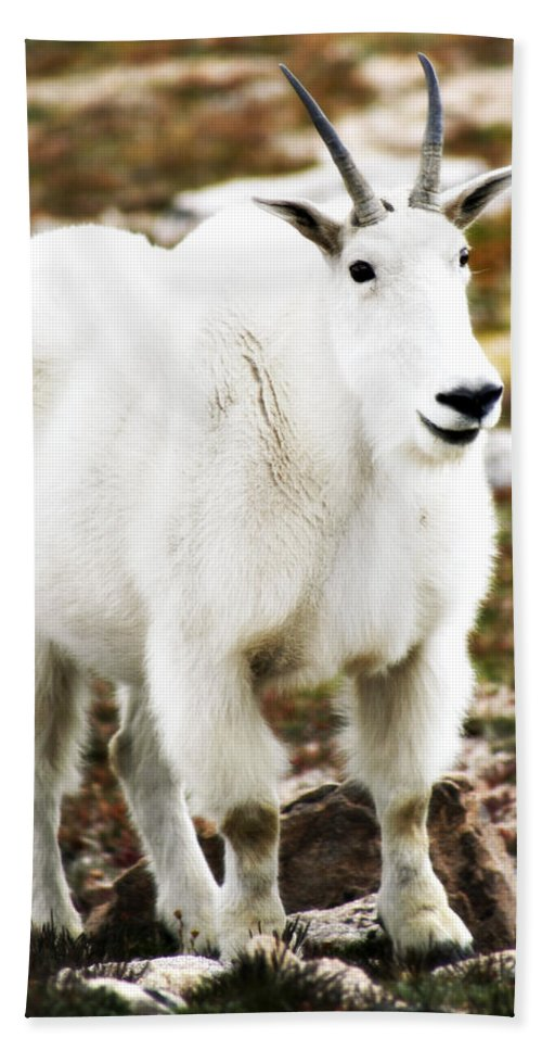 Animal Beach Sheet featuring the photograph Mountain Goat by Marilyn Hunt