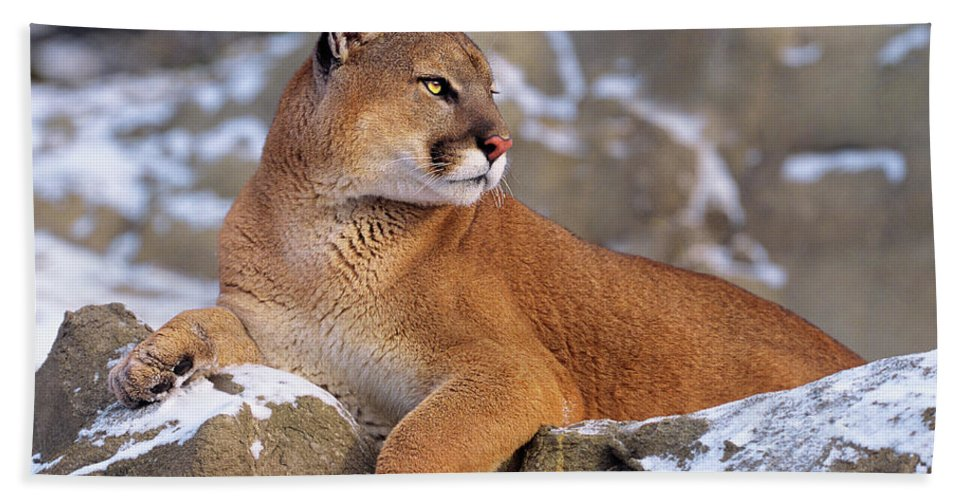 North America Beach Towel featuring the photograph Mountain Lion On Snow-covered Rock Outcrop by Dave Welling