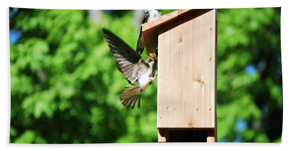 Tree Swallows Beach Towel featuring the photograph Moving In by Lori Tambakis