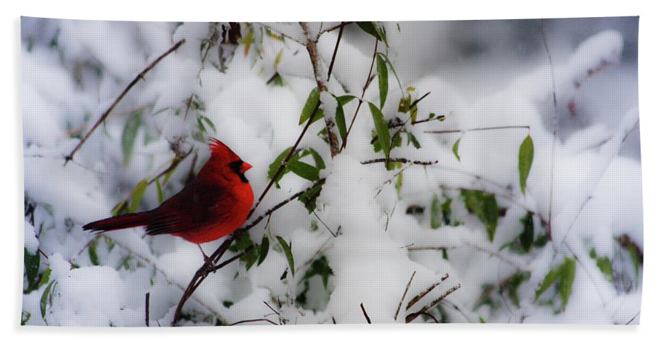 Mr.cardinal Waiting On The Jasmine For A Spot On The Feeder. Beach Towel featuring the photograph Mr. Cardinal by Teresa Mucha