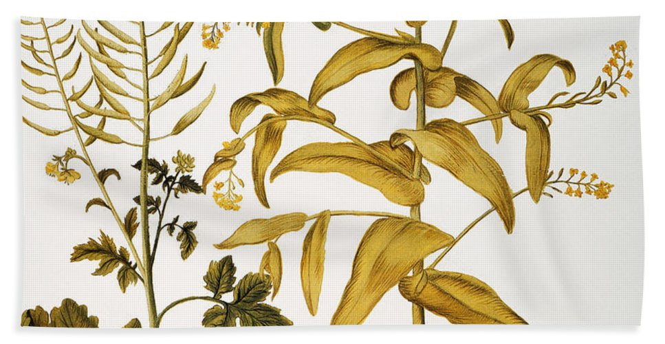 1613 Beach Towel featuring the photograph Mustard Plant, 1613 by Granger