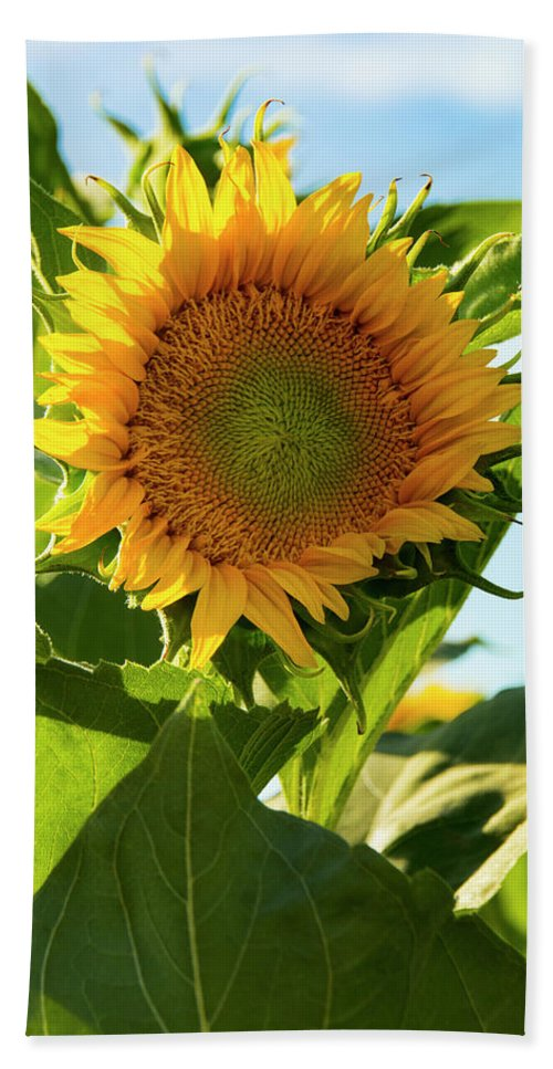 Sunflower Beach Towel featuring the photograph My Fair Lady by Susan Wright