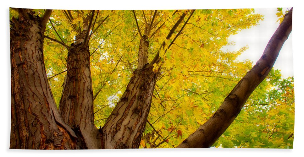 Tree Beach Towel featuring the photograph My Maple Tree by James BO Insogna