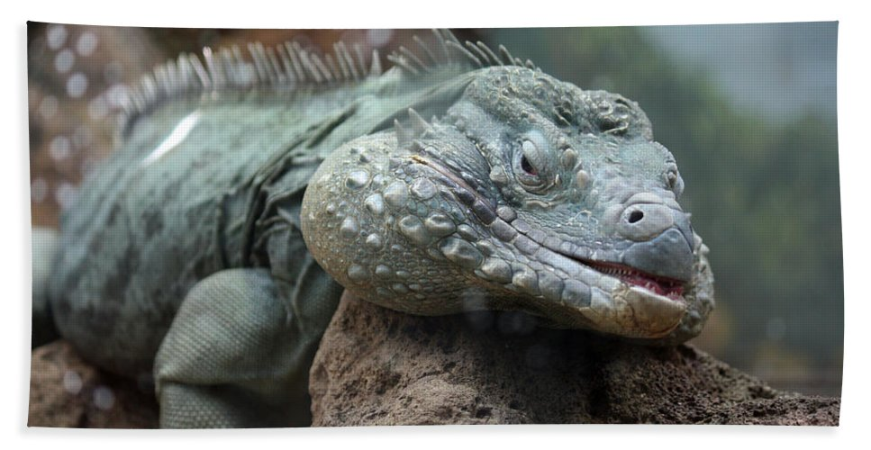 Blue Iguana For Sale : National zoo grand cayman blue iguana relaxing beach towel for