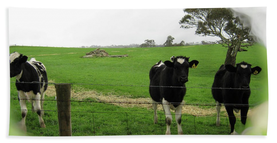Cows Beach Towel featuring the photograph N'gombe by Douglas Barnard