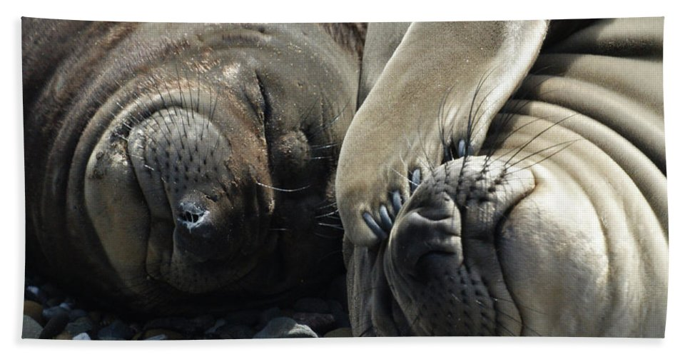 Elephant Seals Beach Towel featuring the photograph No More Pics Please by Ernie Echols