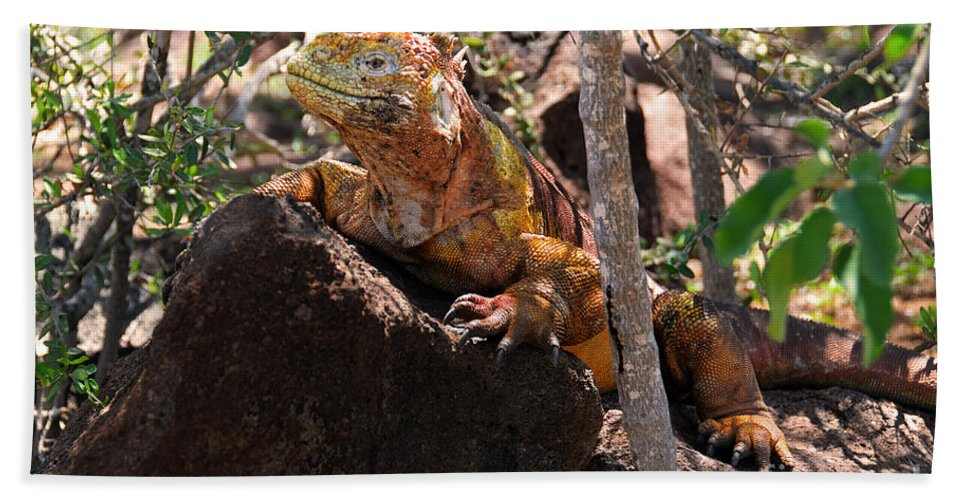 Conolophus Subcristatus Beach Towel featuring the photograph North Seymour Island Iguana In The Galapagos Islands by Catherine Sherman