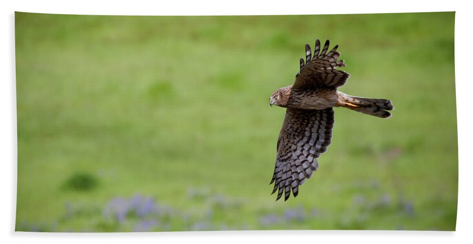 Hawk Beach Towel featuring the photograph Northern Harrier Fly By by Mike Dawson