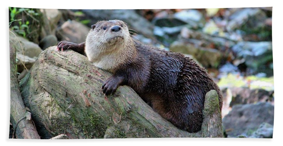 Northern River Otter Beach Towel featuring the photograph Northern River Otter by Cynthia Guinn