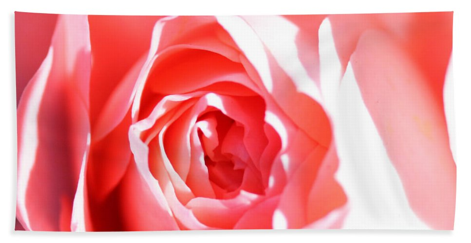 October 2010 Rose Beach Towel featuring the photograph October Rose Close Up by Nick Gustafson