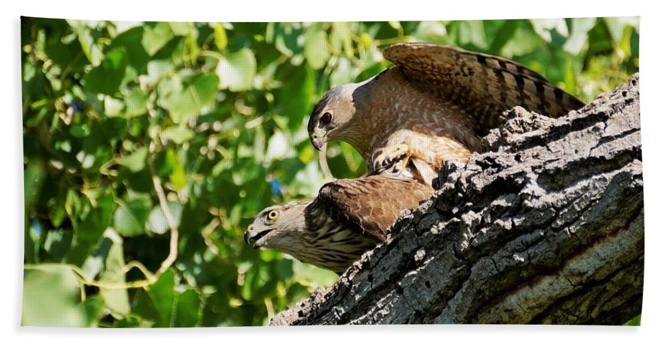 Raptors And Birds Of Prey Beach Towel featuring the photograph Cooper's Hawks Mating by Dennis Boyd