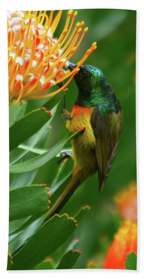 Orange-breasted Sunbird Beach Towel featuring the photograph Orange-breasted Sunbird Feeding On Protea Blossom by Bruce J Robinson
