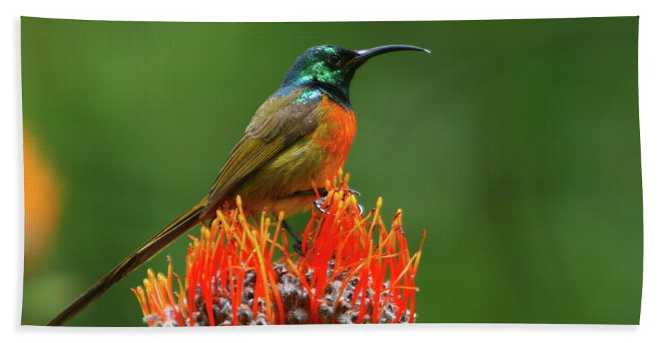 Sunbird Beach Towel featuring the photograph Orange-breasted Sunbird On Protea Blossom by Bruce J Robinson