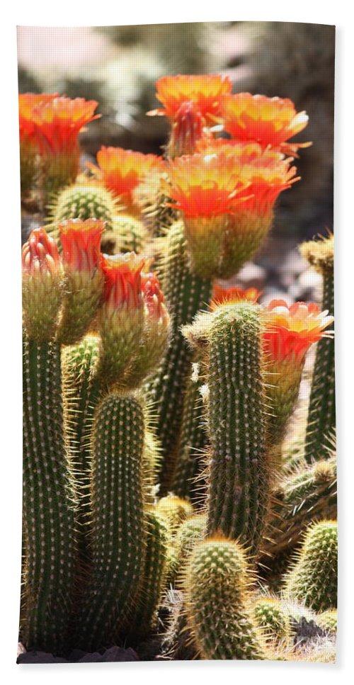 Orange Flowers Beach Towel featuring the photograph Orange Cactus Blooms by Carol Groenen