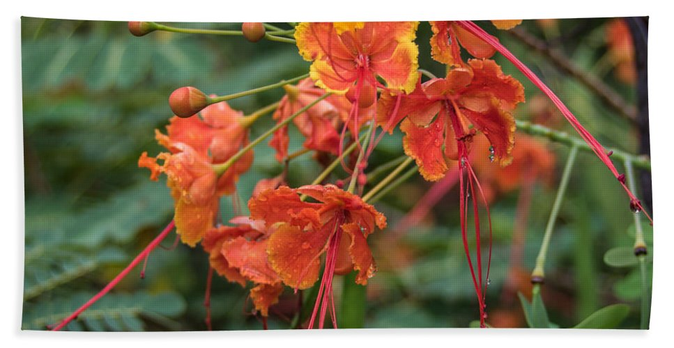 Florida Beach Towel featuring the photograph Orange Poinciana Tree by Jane Luxton