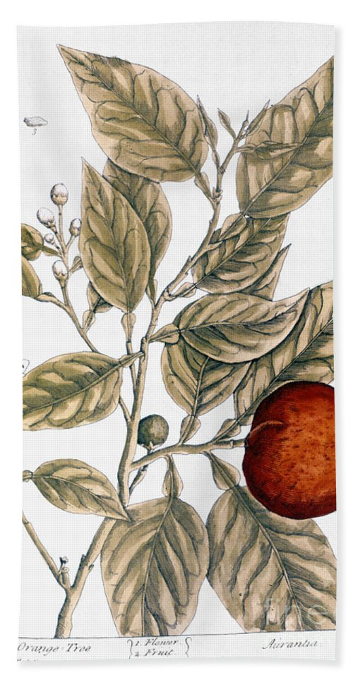 1730s Beach Towel featuring the photograph Orange Tree, 1735 by Granger