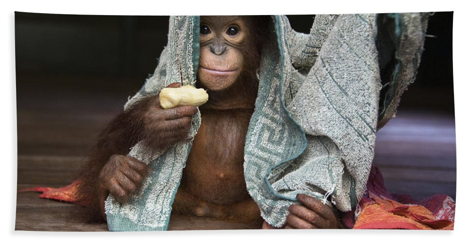 00486841 Beach Towel featuring the photograph Orangutan 2yr Old Infant Holding Banana by Suzi Eszterhas