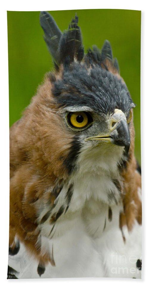 Ornate Hawk-eagle Beach Towel featuring the photograph Ornate Hawk Eagle by Dant� Fenolio