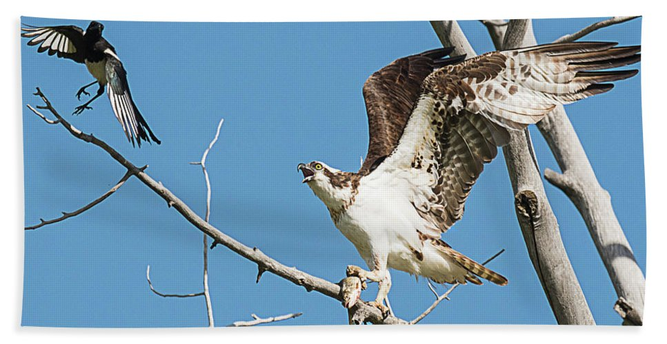 Bird Beach Towel featuring the photograph Osprey And Black Billed Magpie by Dennis Hammer
