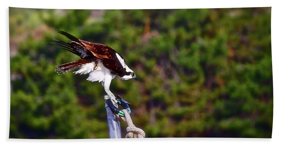 Birds Beach Towel featuring the photograph Osprey by Diana Hatcher