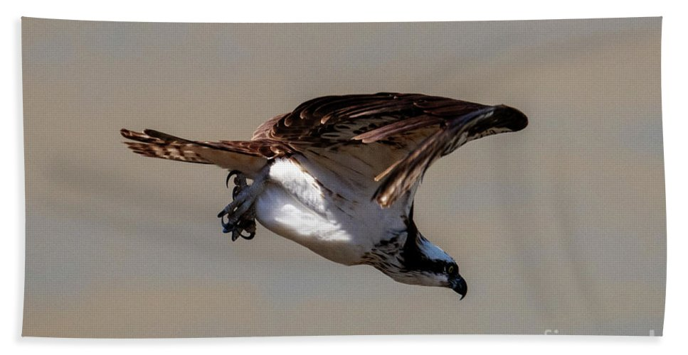 Osprey Beach Towel featuring the photograph Osprey Dive by Mike Dawson
