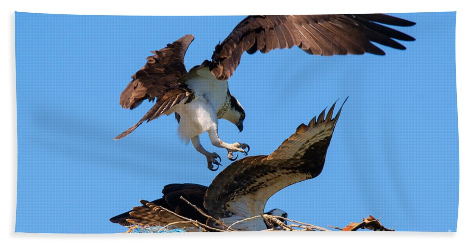 Osprey Beach Towel featuring the photograph Osprey Mating Dance by Mike Dawson