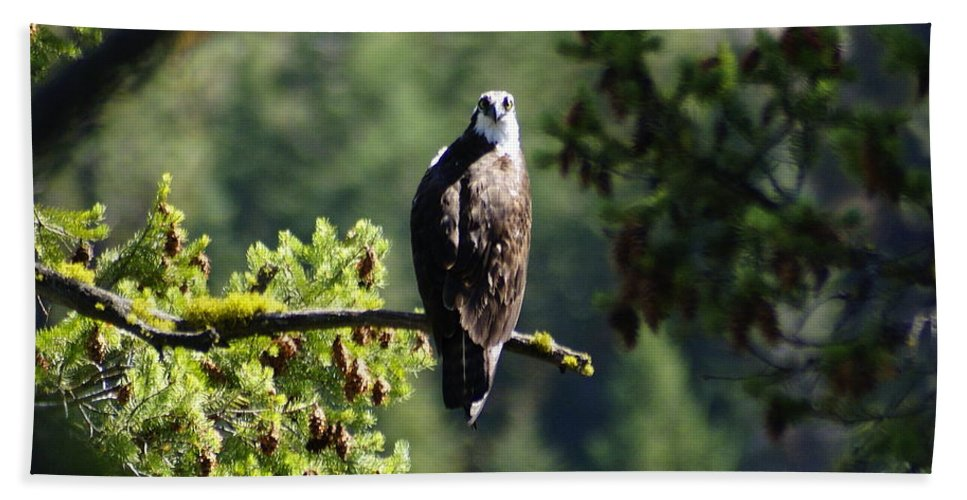 Spokane Beach Towel featuring the photograph Osprey On Branch by Ben Upham III