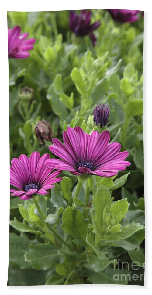 New England Beach Sheet featuring the photograph Osteospermum Flowers by Erin Paul Donovan