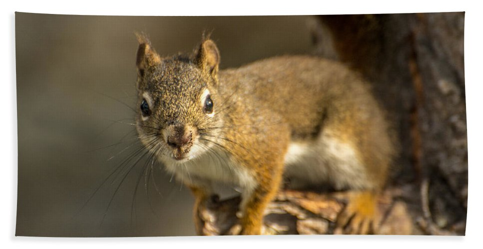 Squirrel Beach Towel featuring the photograph Out On A Limb by Constance Puttkemery
