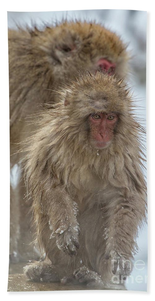 Snow Monkeys Beach Towel featuring the photograph Out We Come by Leigh Lofgren