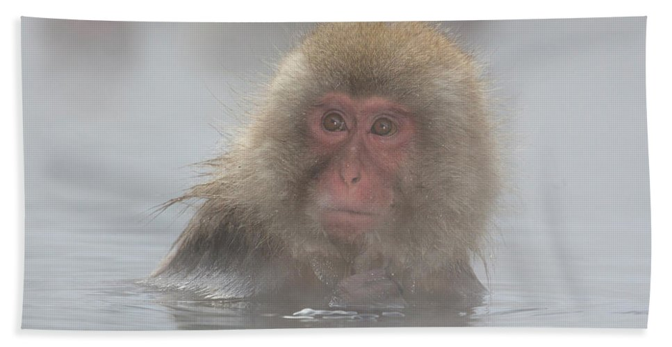 Snow Monkeys Beach Towel featuring the photograph Over Here by Leigh Lofgren