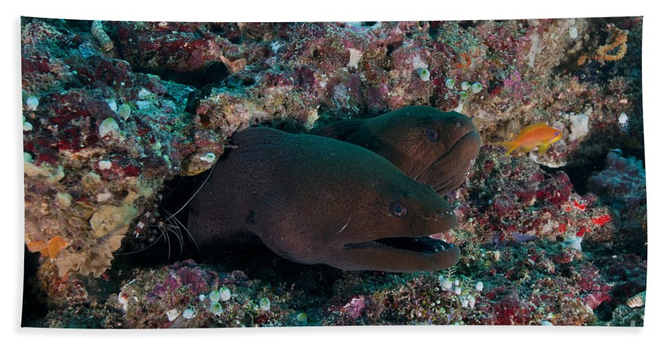 Maldives Beach Towel featuring the photograph Pair Of Giant Moray Eels In Hole by Mathieu Meur
