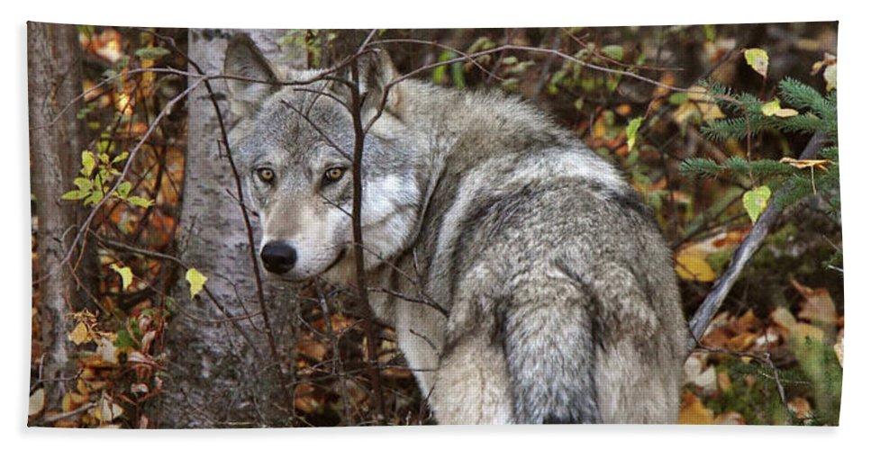Beach Towel featuring the digital art Panoramic Gray Wolf Yukon by Mark Duffy