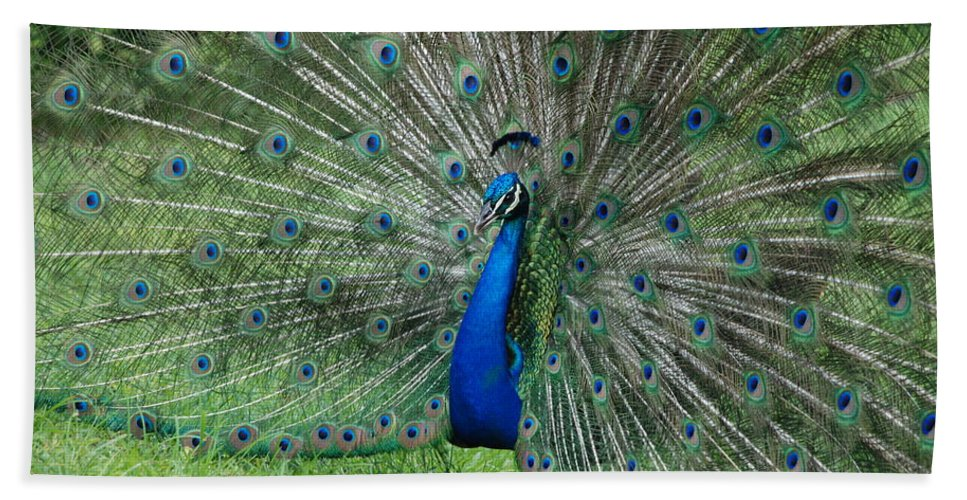 Peacock Beach Sheet featuring the photograph Peacocks Glory by Rob Hans