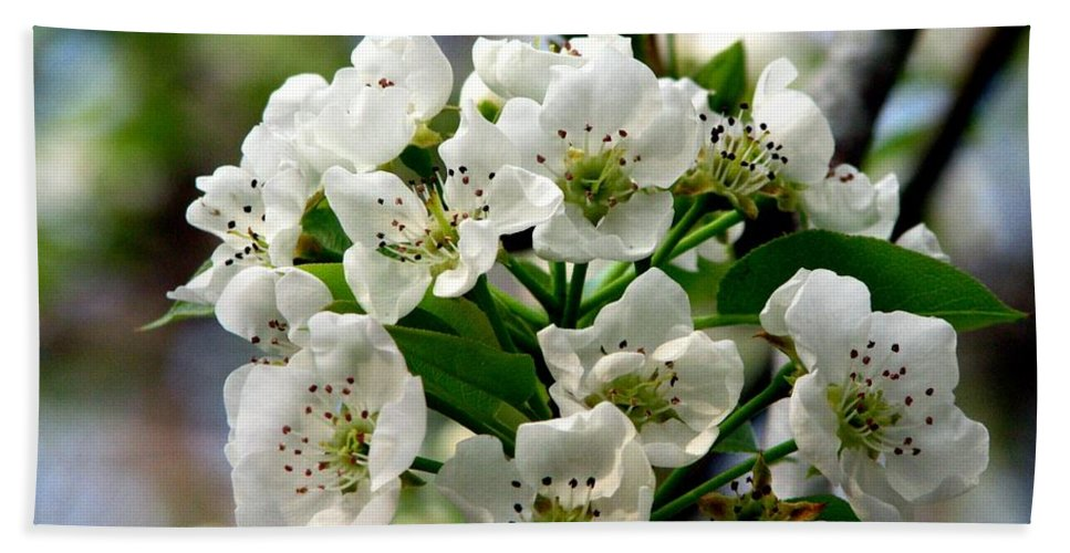 Pear Tree Blossum Beach Towel featuring the photograph Pear Tree Blossoms 1 by J M Farris Photography
