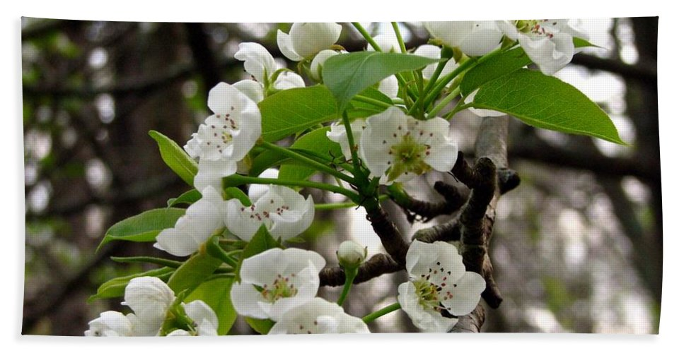 Pear Tree Blossum Beach Towel featuring the photograph Pear Tree Blossoms 2 by J M Farris Photography