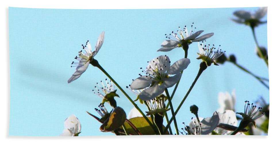 Pear Tree Blossum Beach Towel featuring the photograph Pear Tree Blossoms 5 by J M Farris Photography