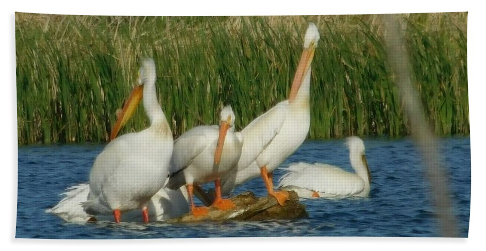 Pelicans Beach Towel featuring the photograph Pelicans Being Pelicans by Curtis Tilleraas