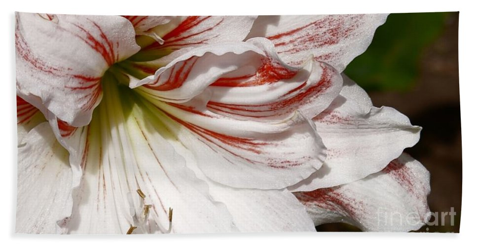 Peppermint Candy Lily Flower Beach Towel featuring the photograph Peppermint Candy by Joanne Smoley