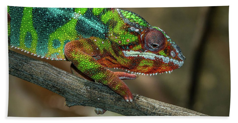 Reptile Beach Towel featuring the photograph Ambilobe Panther Chameleon by Jimmy Tran