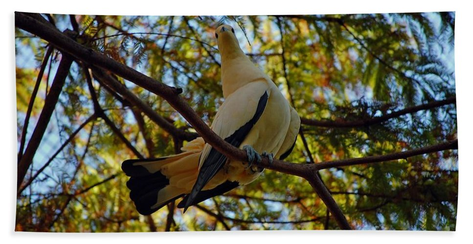 Pied Beach Towel featuring the photograph Pied Imperial Pigeon by Robert Meanor