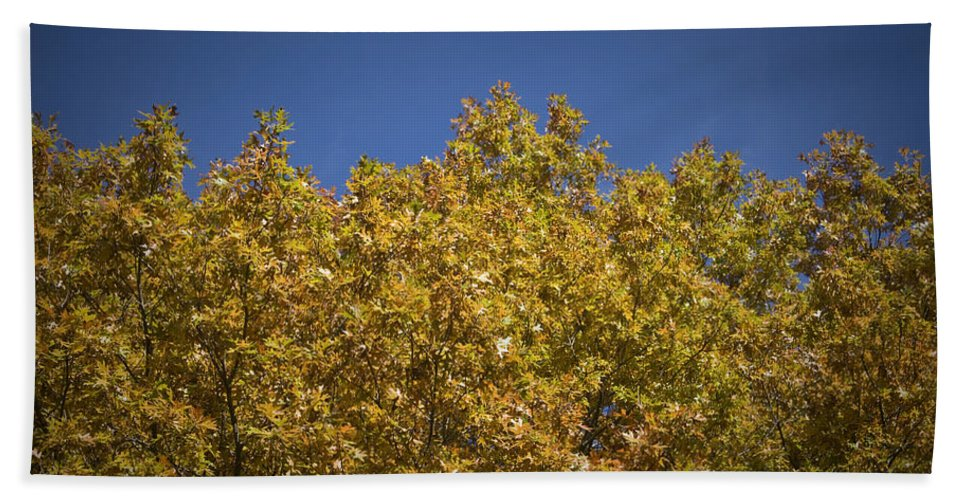 Fall Beach Towel featuring the photograph Pin Oaks In The Fall No 2 by Teresa Mucha