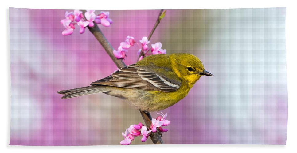 Pine Warbler Taken In Shawnee State Park Southern Ohio Beach Towel featuring the photograph Pine Warbler by Tom Ingram