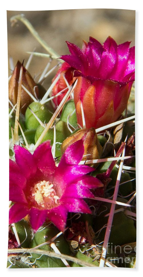 Pink Flowers Beach Towel featuring the photograph Pink Barrel Cactus Flowers by Kelly Holm
