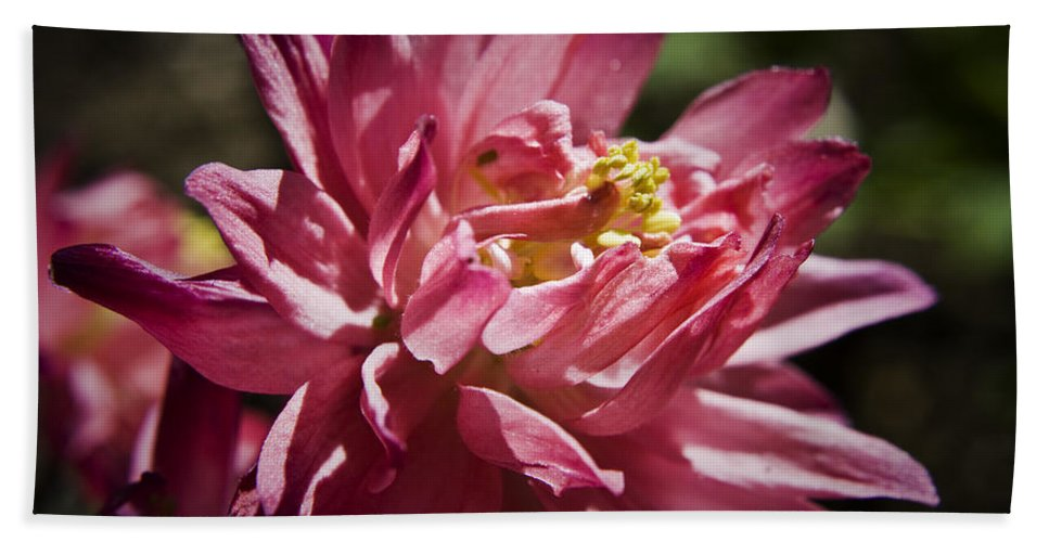 Columbine Beach Towel featuring the photograph Pink Columbine by Teresa Mucha