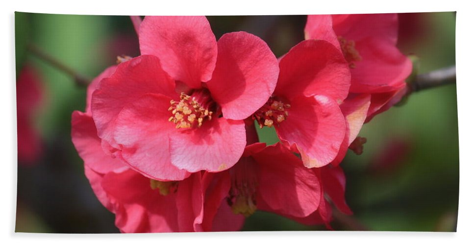 Chaenomeles Beach Towel featuring the photograph Pink Flowering Quince by Carol Groenen