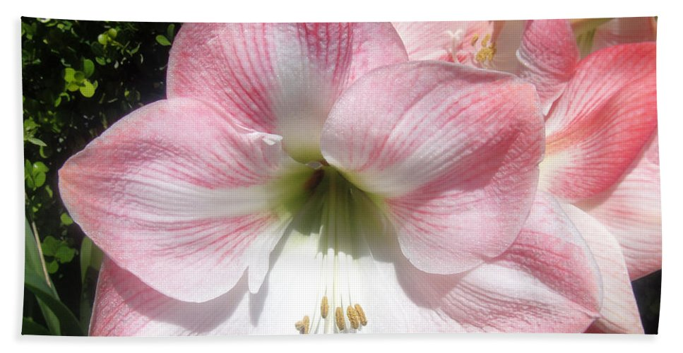 Hippeastrum Beach Towel featuring the photograph Pink Hippeastrum 01 by Sofia Metal Queen