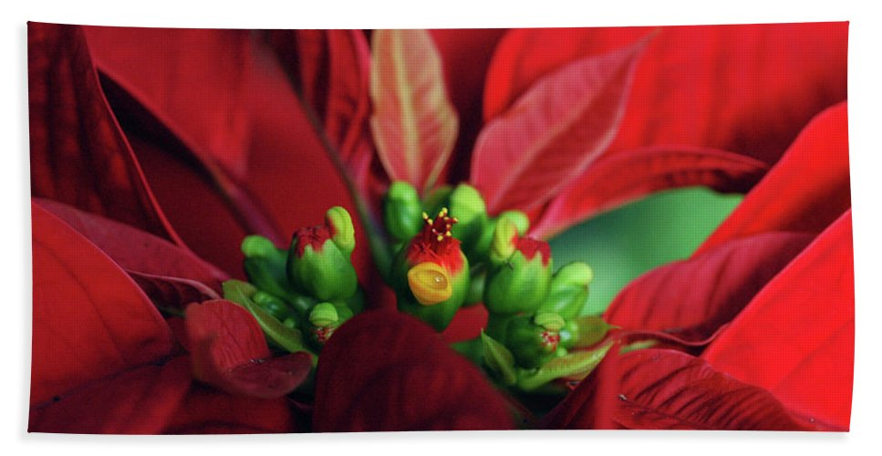 No Filter Beach Towel featuring the photograph Poinsetta by Kristina Bliss