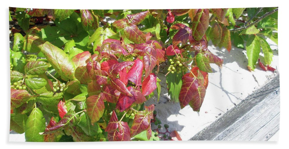 Ivy Beach Towel featuring the photograph Poison Ivy Comes A Creeping by Mother Nature