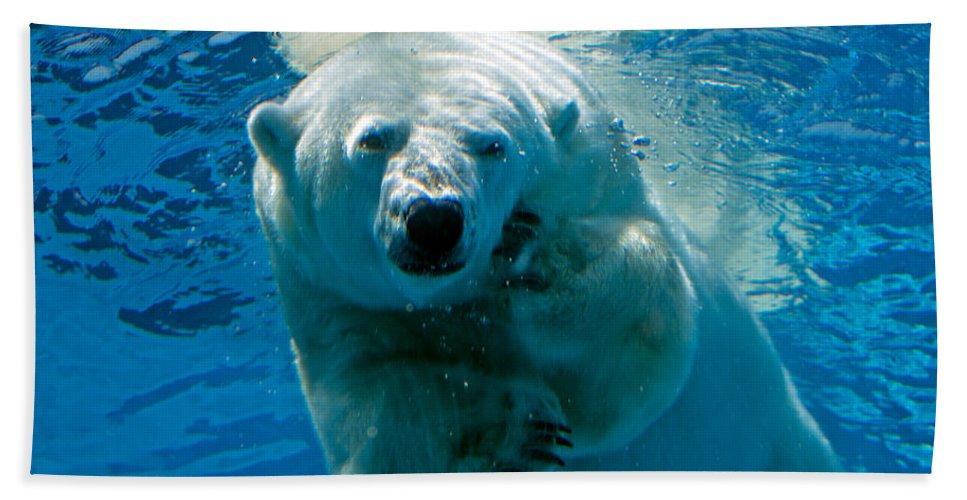 Polar Bear Beach Towel featuring the photograph Polar Bear Contemplating Dinner by John Haldane